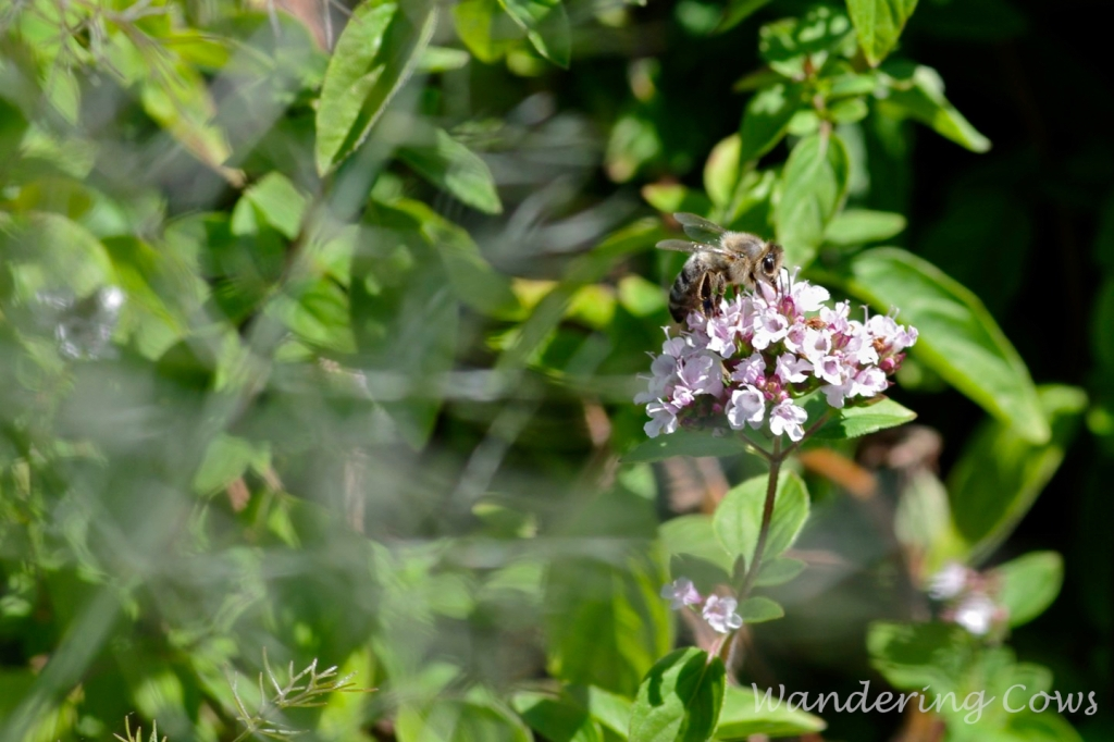 Bee on basil flower